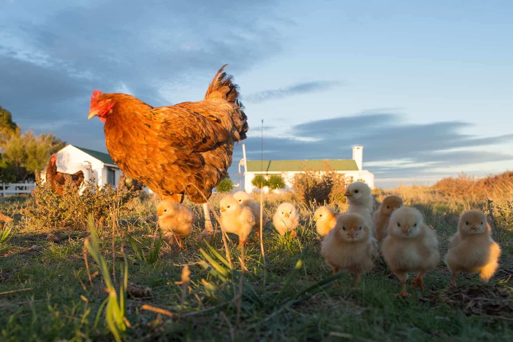 Hen and chicks on farm