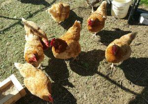 Golden Comet chickens