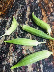 harvesting okra pods