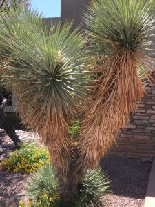 yucca plant ornamental