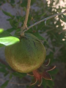 pomegranate growing on tree