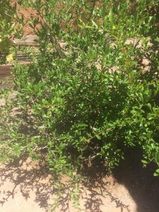 picture of pomegranate tree
