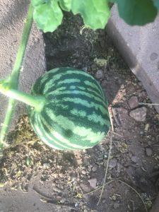 Growing Crimson Sweet watermelon