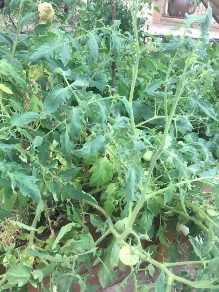 indeterminate tomato plant