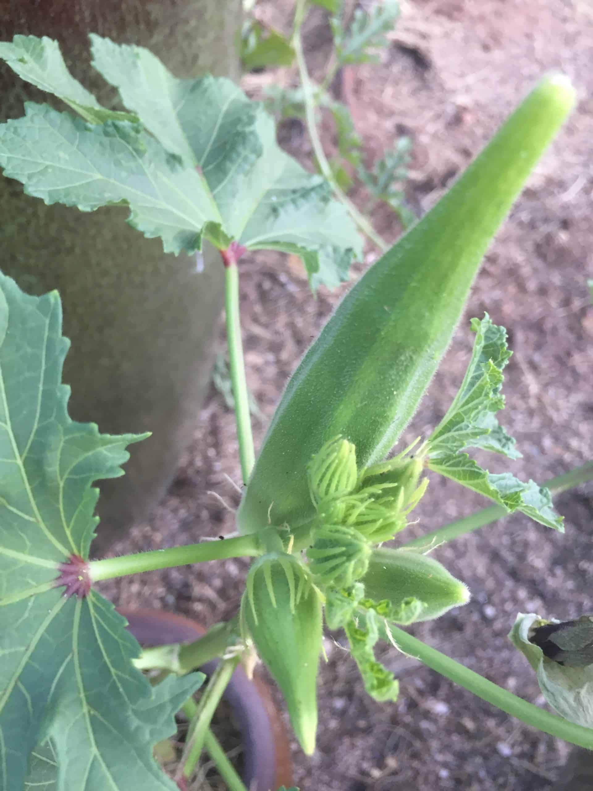 growing okra plant
