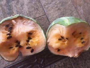 overripe yellow watermelon
