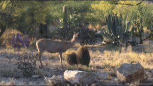 deer eating barrel cactus