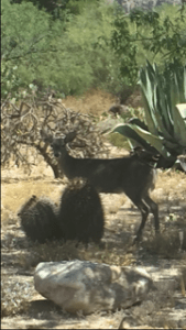 desert wildlife deer