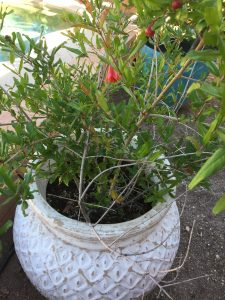 potted pomegranate tree
