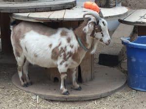 injured goat horn