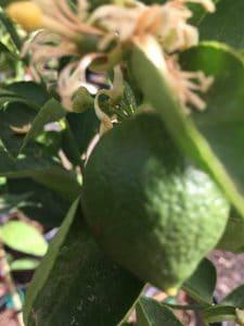growing limes