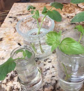 harvesting basil to grow new plants