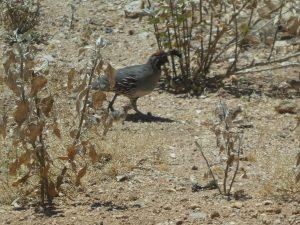 raising quail free range