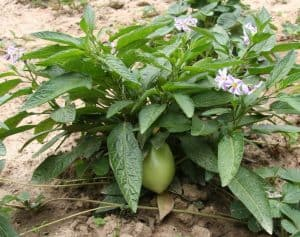 Pepino melon plant with flowers and fruit