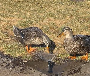 Rouen ducks