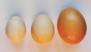 Serama chicken egg