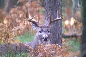 Things Hunters Don't Know About Whitetail Deer