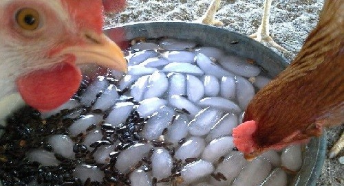 Water Your Backyard Chickens