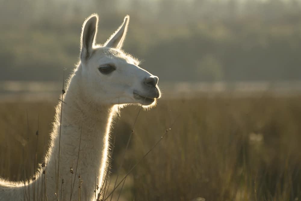alpaca vs llama