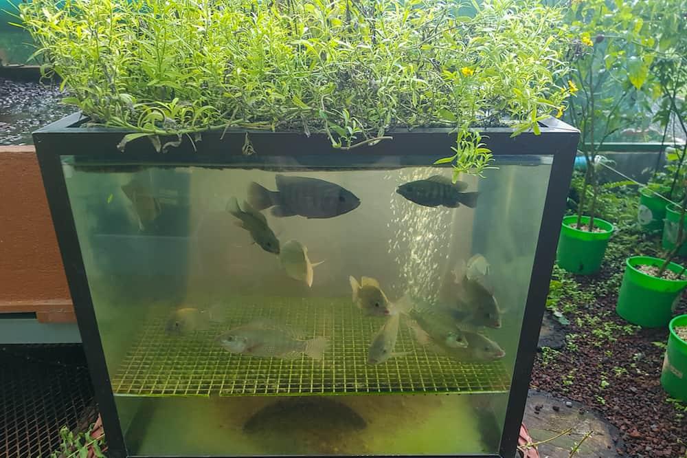aquaponics vs hydroponics