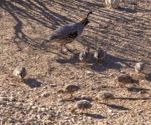 raising quail outdoors