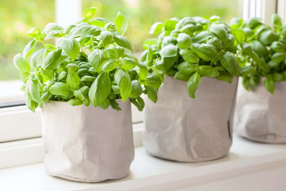 growing your own basil plant