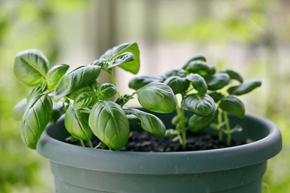 growing basil plant at home