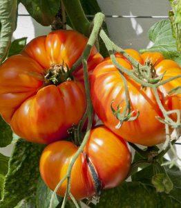 growing beefsteak tomatoes