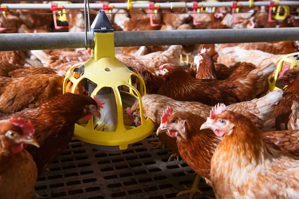 best chicken feeder to prevent waste