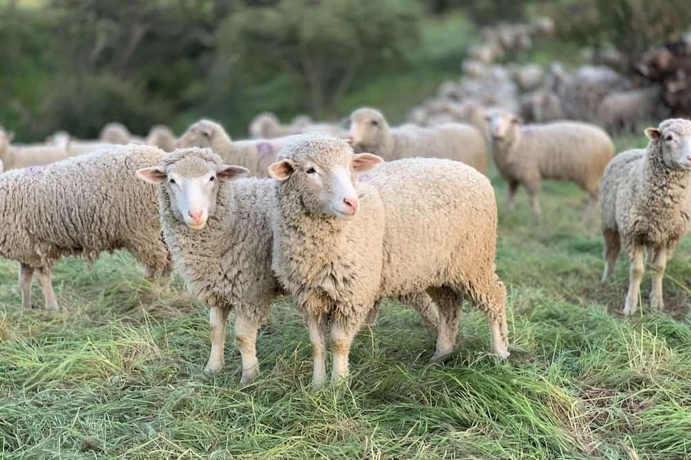 best farm animals sheep