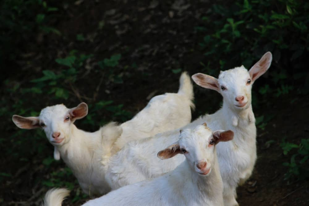 best farm animals goats