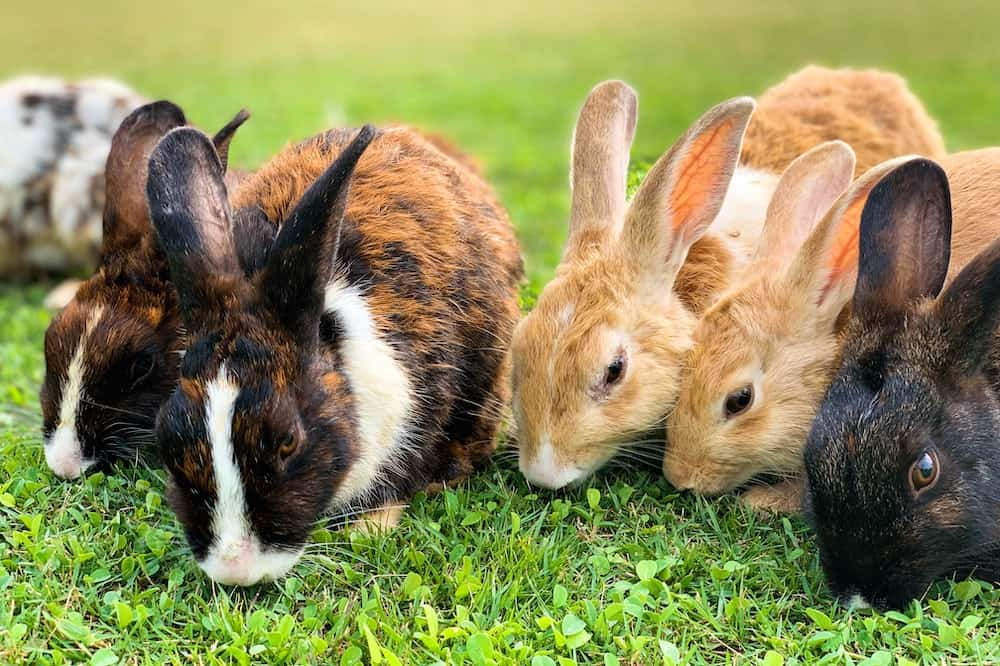 best farm animals rabbits