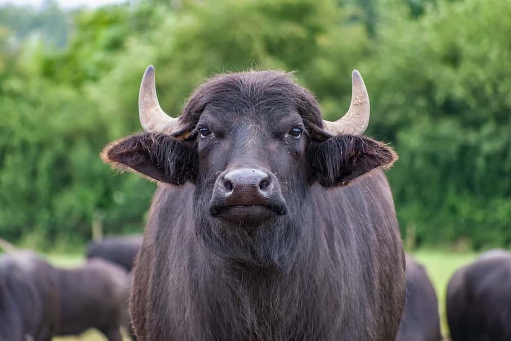 bison vs buffalo