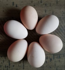 Blue Laced Red Wyandotte eggs
