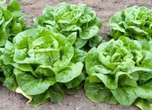 growing butterhead lettuce
