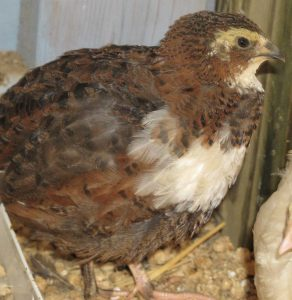 Tuxedo Coturnix quail