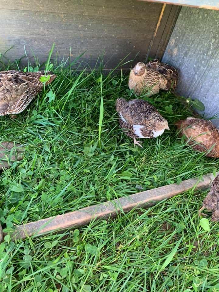 Coturnix quail free-range