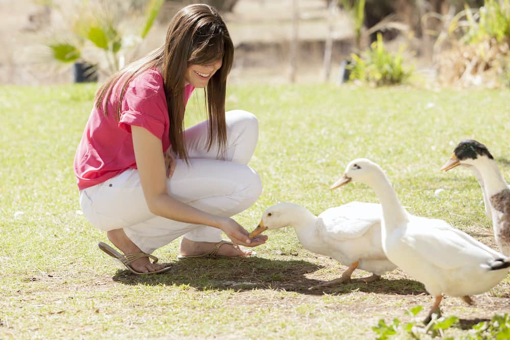 can ducks eat chicken feed