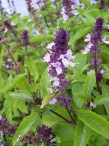 basil with purple flowers