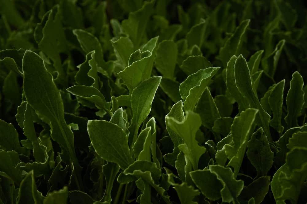 Arugula easiest vegetables to grow