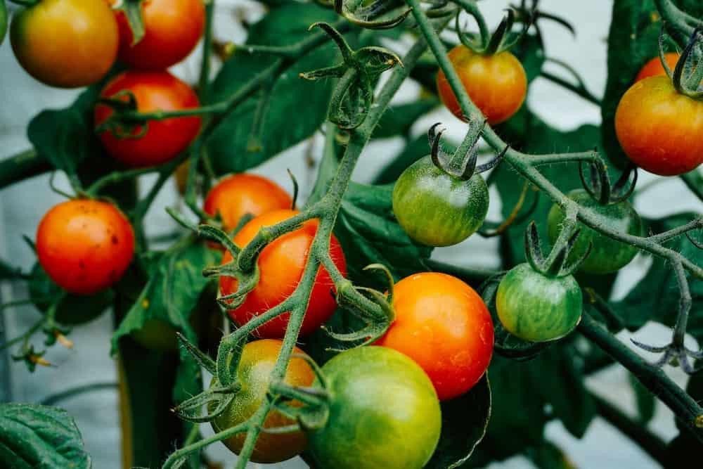 growing tomatoes vegetables