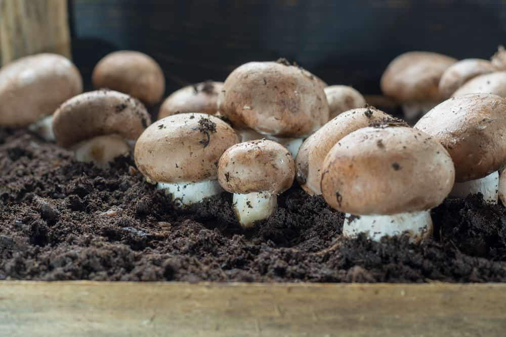 growing mushrooms