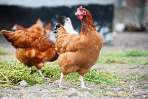 What's the Best Nutrition Plan for Healthy Chickens?