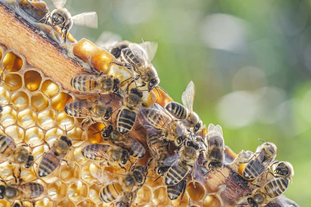 how long do honey bees live