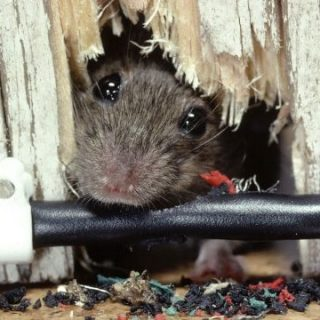 How To Get Rid of Rats in House Fast