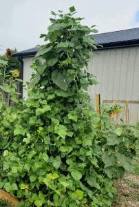 Pole bean plants