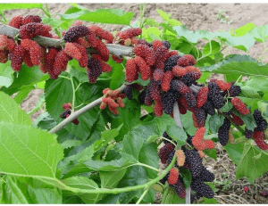 types of mulberries
