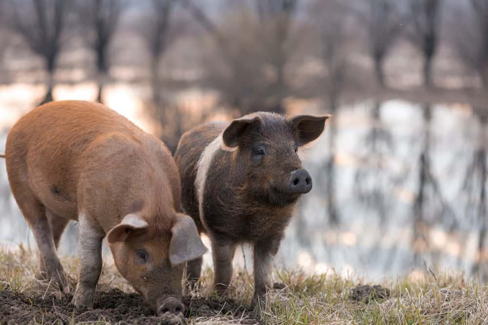 mangalitsa pigs