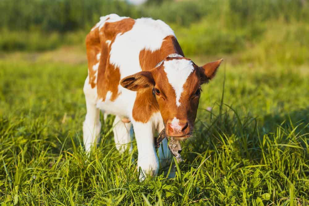mini milking cows