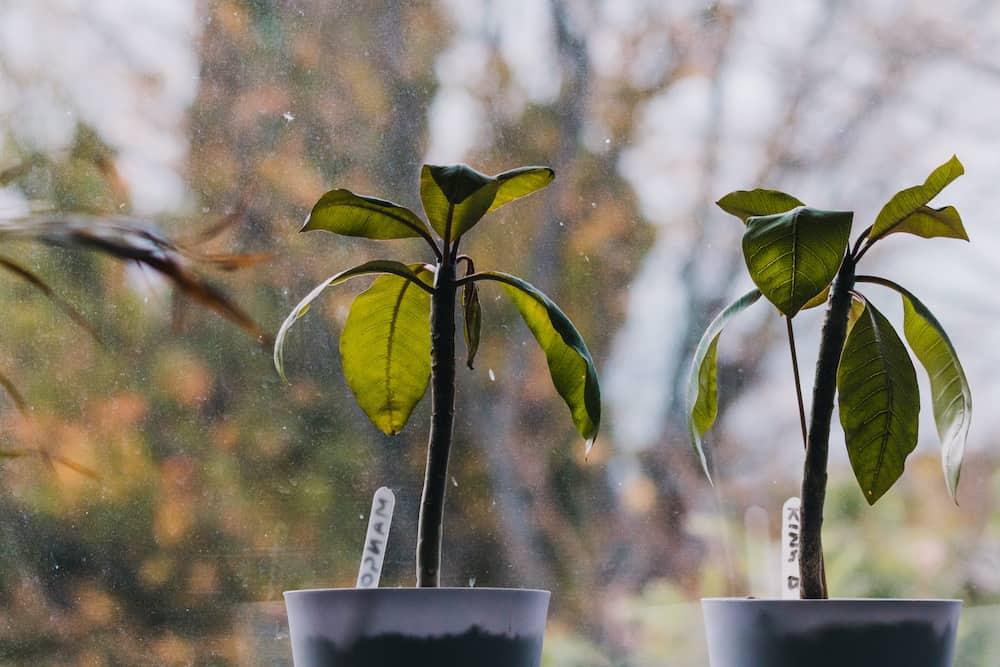plumeria planting